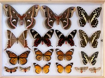 Sammlung Entomologie Schaukasten Schmetterlinge
